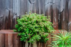 Arbusto da flor no fundo de madeira da textura Fotografia de Stock