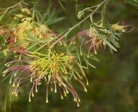 Arbusto da gema do winpara do grevillea da flor da mola Imagens de Stock