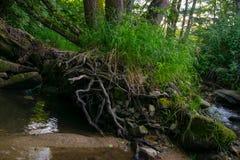 Arbusto da grama na floresta Fotografia de Stock Royalty Free