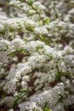 Arbusto da mola Flores brancas pequenas bonitas Fotografia de Stock Royalty Free