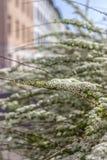 Arbusto da mola Flores brancas pequenas bonitas Fotos de Stock Royalty Free