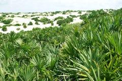 Arbusto da palma Imagem de Stock