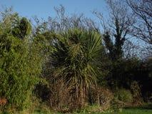 Arbusto da palmeira Fotografia de Stock Royalty Free