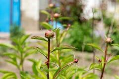 Arbusto da peônia com lotes de peônias roxas Jardinagem Cuidado e criação de animais da peônia Imagem de Stock Royalty Free