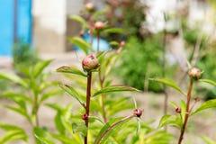Arbusto da peônia com lotes de peônias roxas Jardinagem Cuidado e criação de animais da peônia Fotos de Stock