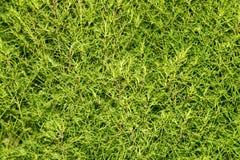Arbusto da planta verde na natureza Fotos de Stock Royalty Free