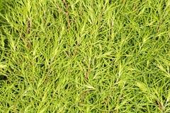 Arbusto da planta verde na natureza Imagens de Stock