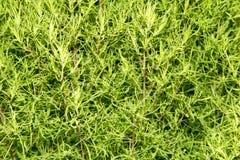 Arbusto da planta verde na natureza Fotografia de Stock Royalty Free