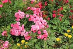 Arbusto da rosa do rosa foto de stock