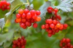 arbusto da Rowan-baga no outono Fotografia de Stock