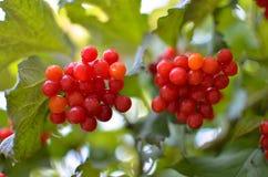 arbusto da Rowan-baga no outono Fotos de Stock