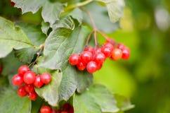 arbusto da Rowan-baga no outono Fotografia de Stock Royalty Free