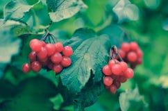 arbusto da Rowan-baga no outono Imagens de Stock