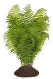 Arbusto da samambaia da floresta isolado Foto de Stock Royalty Free