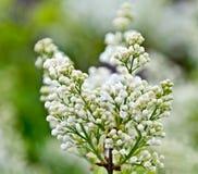 Arbusto da sirene na flor Imagem de Stock