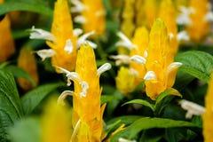 Arbusto da vela de Godlen imagens de stock royalty free