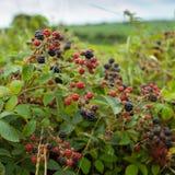 Arbusto de amora Fotos de Stock Royalty Free
