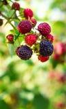 Arbusto de amoras-pretas Foto de Stock