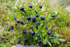 Arbusto de arándano Fotos de archivo libres de regalías