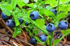 Arbusto de arándano en rocío de la mañana fotografía de archivo