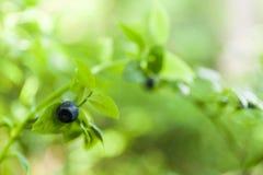Arbusto de arándano salvaje en el bosque, baya antioxidante gastrónoma Copie el espacio para el texto foto de archivo