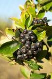 Arbusto de Aronia Fotografia de Stock
