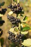 Arbusto de Aronia Fotos de Stock