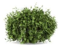 Arbusto de baya del saúco aislado en blanco Fotografía de archivo
