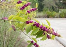 Arbusto de Beautyberry del americano y x28; Americana& x29 de Callicarpa; Fotografía de archivo