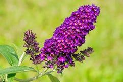 Arbusto de borboleta Imagens de Stock Royalty Free