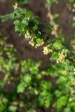 Arbusto de corinto preto de floresc?ncia em um dia ensolarado foto de stock royalty free