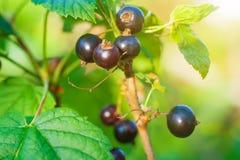 Arbusto de corinto preto, iluminado pela luz solar imagens de stock royalty free