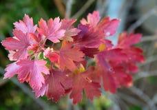 Arbusto de corinto vermelho Dia do outono fotos de stock