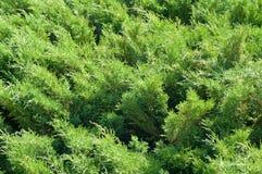 Arbusto de enebro Fotografía de archivo libre de regalías