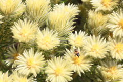 Arbusto de Featherhead con la abeja Imagen de archivo libre de regalías