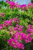 Arbusto de florecimiento de la flor rosada de la lila debajo del cielo azul Concepto de la flor de la primavera imagen de archivo