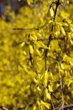 Arbusto de florescência Imagens de Stock