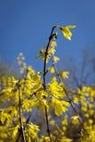 Arbusto de florescência Foto de Stock Royalty Free