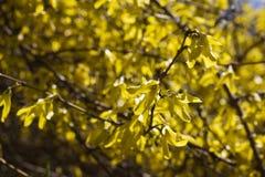 Arbusto de florescência Fotografia de Stock Royalty Free