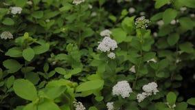 Arbusto de florescência da flor lilás branca sob o céu azul Conceito da flor da mola video estoque