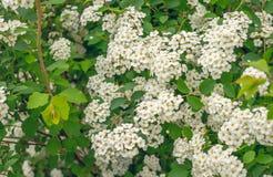Arbusto de florescência da mola do branco do spirea Fotografia de Stock