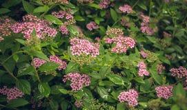 Arbusto de florescência da mola do rosa do spirea Foto de Stock Royalty Free