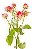 Arbusto de florescência de rosas vermelhas Foto de Stock