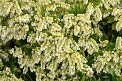 Arbusto de florescência do mirtilo, arbusto no jardim do verão fotografia de stock royalty free