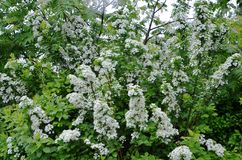Arbusto de florescência Spirea Imagem de Stock