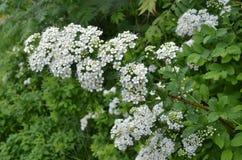 Arbusto de florescência Spirea Imagem de Stock Royalty Free