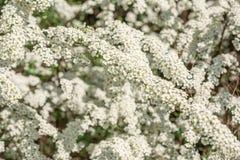 Arbusto de florescência Spirea Fotos de Stock Royalty Free