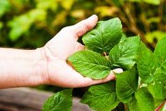 Arbusto de frambuesa Foto de archivo libre de regalías
