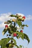 Arbusto de frambuesa con el cielo azul Fotos de archivo libres de regalías