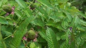 Arbusto de frambuesa con las bayas frescas metrajes